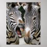 close-up of head of zebras, Equus Sp., Berlin Poster
