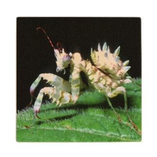Close-Up Of Hottentot Mantis Wood Coaster