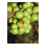 Close up of lady bug on green Pinot Noir grapes Postcard
