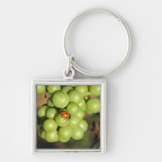 Close up of lady bug on green Pinot Noir grapes Silver-Colored Square Key Ring