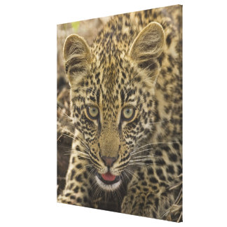 Close up of Leopard, Greater Kruger National Canvas Print