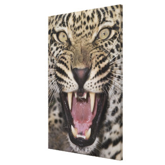 Close up of leopard growling canvas print
