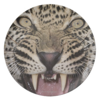 Close up of leopard growling plate