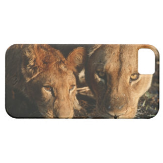 Close up of Lioness (Panthera leo) and cub iPhone 5 Covers