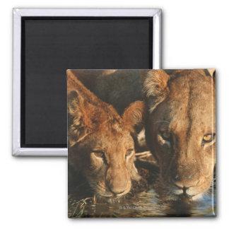 Close up of Lioness (Panthera leo) and cub Fridge Magnet