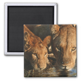 Close up of Lioness (Panthera leo) and cub Square Magnet