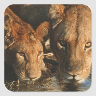 Close up of Lioness (Panthera leo) and cub Square Sticker