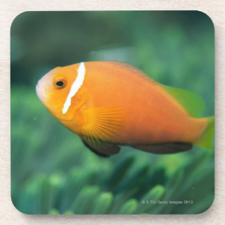 Close up of Maldives anemone fish, Maldives 2 Coaster