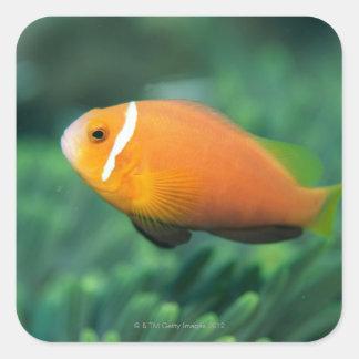 Close up of Maldives anemone fish, Maldives 2 Square Sticker