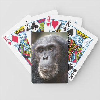 Close-up of male Chimpanzee Bicycle Playing Cards