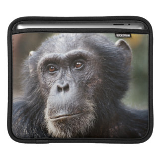 Close-up of male Chimpanzee iPad Sleeve