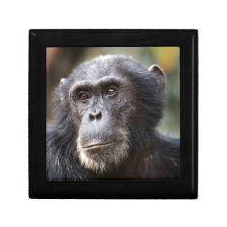 Close-up of male Chimpanzee Small Square Gift Box