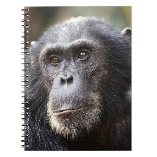 Close-up of male Chimpanzee Spiral Notebook