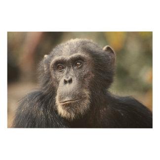 Close-up of male Chimpanzee Wood Wall Decor