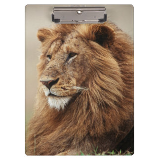 Close-up of male Lion Clipboard