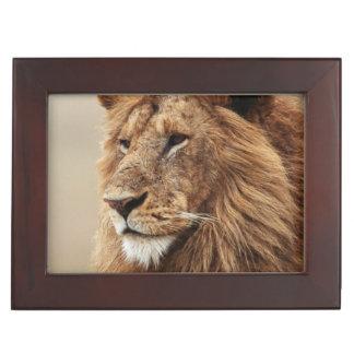 Close-up of male Lion Keepsake Box