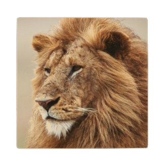 Close-up of male Lion Wood Coaster