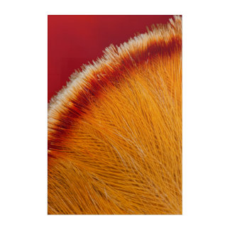 Close Up Of Orange Feather Acrylic Wall Art