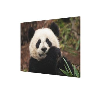 Close up of Panda Eating Canvas Print