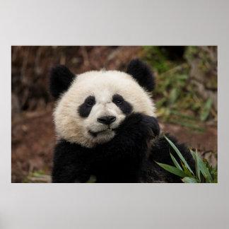 Close up of Panda Eating Poster