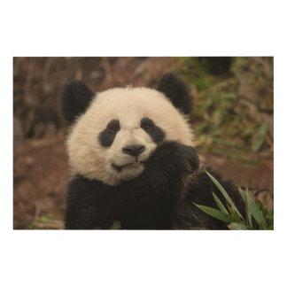 Close up of Panda Eating Wood Prints