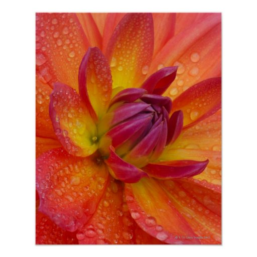 Close-up of petals at the center of a dahlia posters