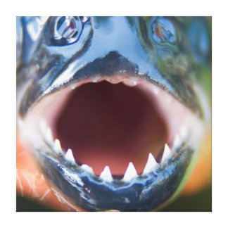 Close-Up Of Piranha, Iquitos, Maynas, Peru Canvas Print
