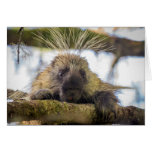 Close-up of porcupine in a tree greeting card