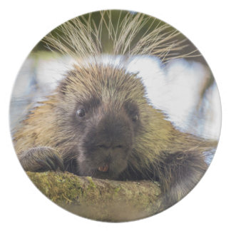 Close-up of porcupine in a tree plate