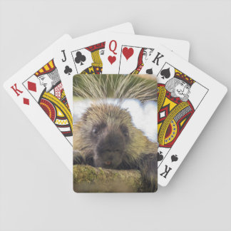 Close-up of porcupine in a tree playing cards