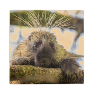 Close-up of porcupine in a tree wood coaster