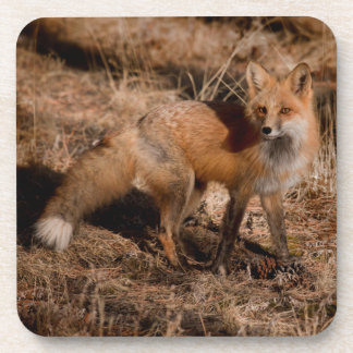 Close-up of red fox coasters
