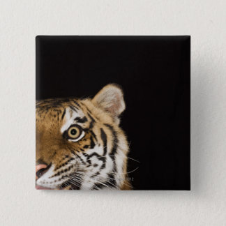Close up of roaring tiger's face 15 cm square badge