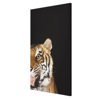 Close up of roaring tiger's face canvas print