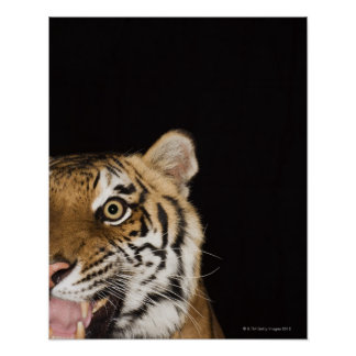 Close up of roaring tiger's face poster