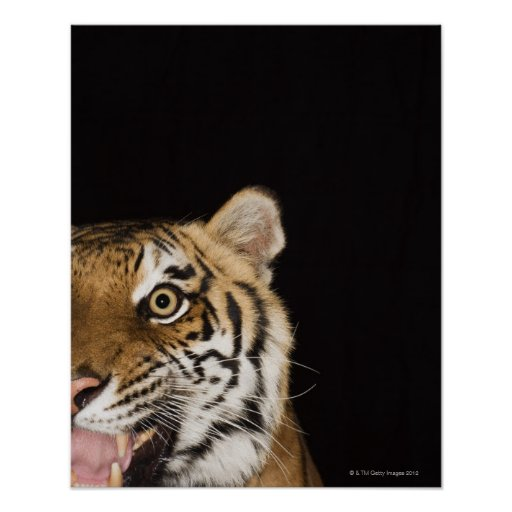 Close up of roaring tiger's face posters