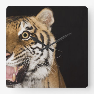 Close up of roaring tiger's face square wall clock