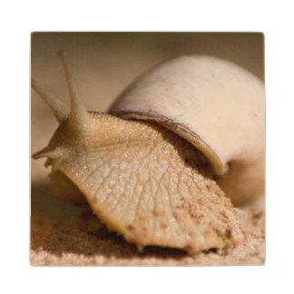 Close-Up Of Snail, USAngu Flats, Madibira Maple Wood Coaster