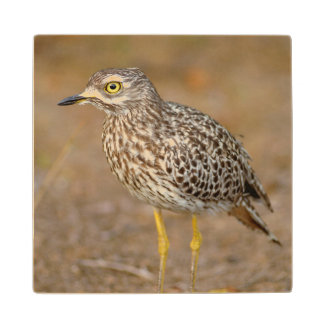Close-Up Of Spotted Thick-Knee Wood Coaster