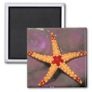 Close up of starfish, or fromia monilis. square magnet