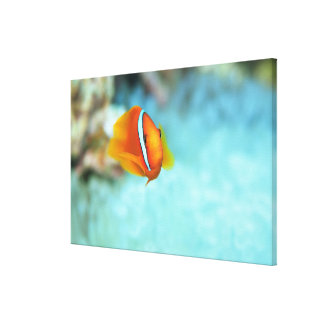 Close-up of tomato anemone fish, Okinawa, Japan Canvas Print