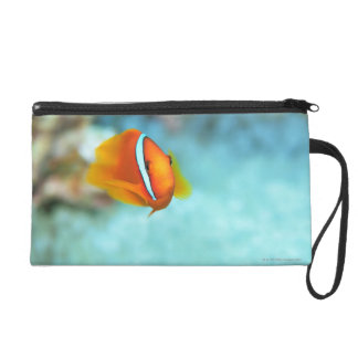 Close-up of tomato anemone fish, Okinawa, Japan Wristlet