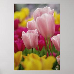 Close-up of tulip flower, Kuekenhof Gardens, Poster