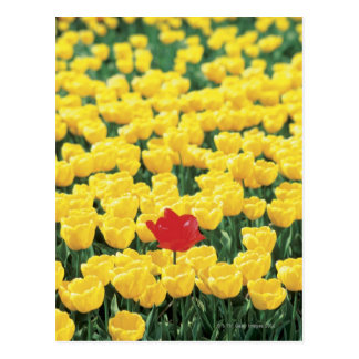Close-up of Tulips in a field, Leiden, Post Card