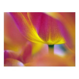 Close-up of underside of tulip flower, Kuekenhof 2 Postcard