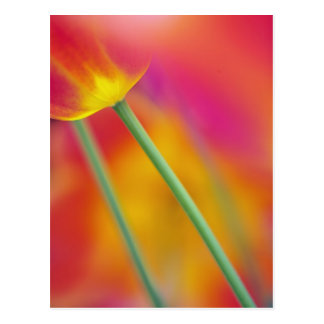 Close-up of underside of tulip flower, postcard