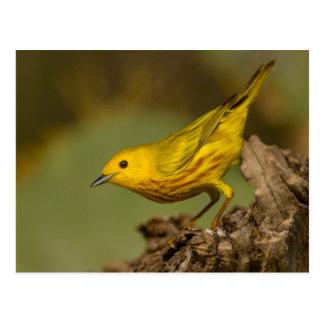 Close-Up Of Yellow Warbler Postcard