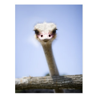 Close up Ostrich head Post Cards