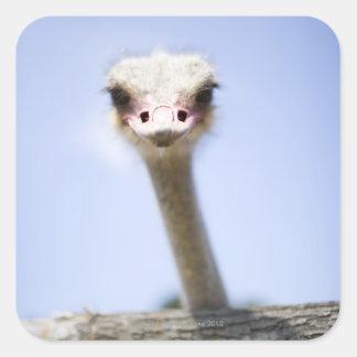 Close up Ostrich head Square Sticker
