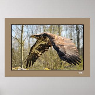 Close-up photo Juvenile Bald Eagle in Flight Print